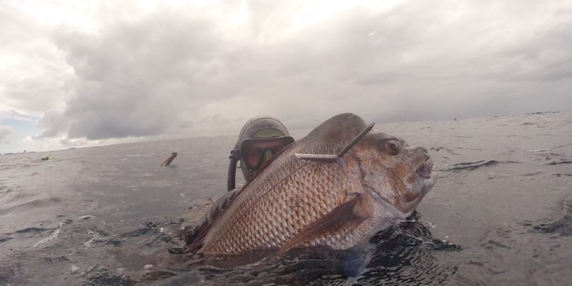 spearfishing solid snapper